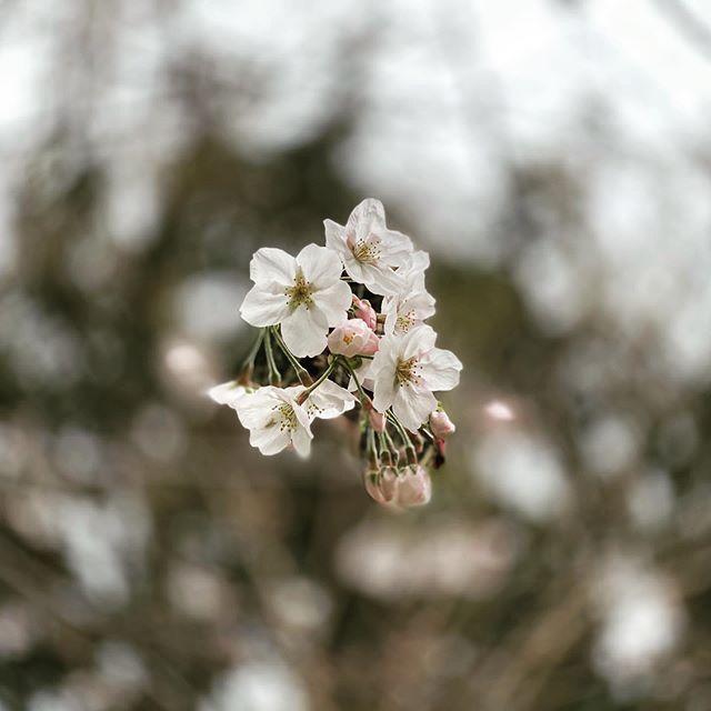 桜、ポートレート。(iPhone 11 Pro Max ポートレート)
