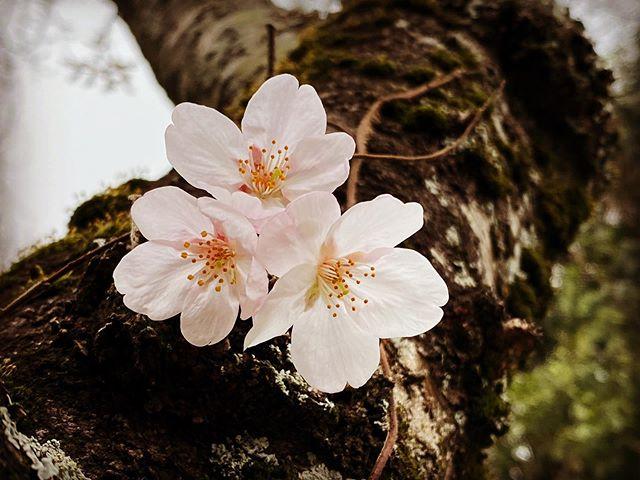 春が来た! 桜が開花。(iPhone 11 Pro Max)