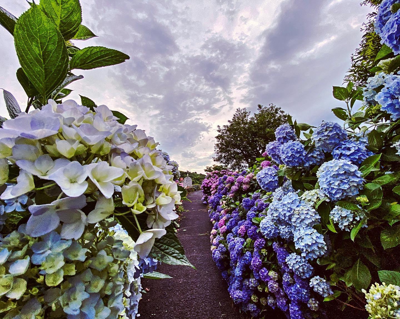 紫陽花の道。 (iPhone 11 Pro Max + Ps Camera)