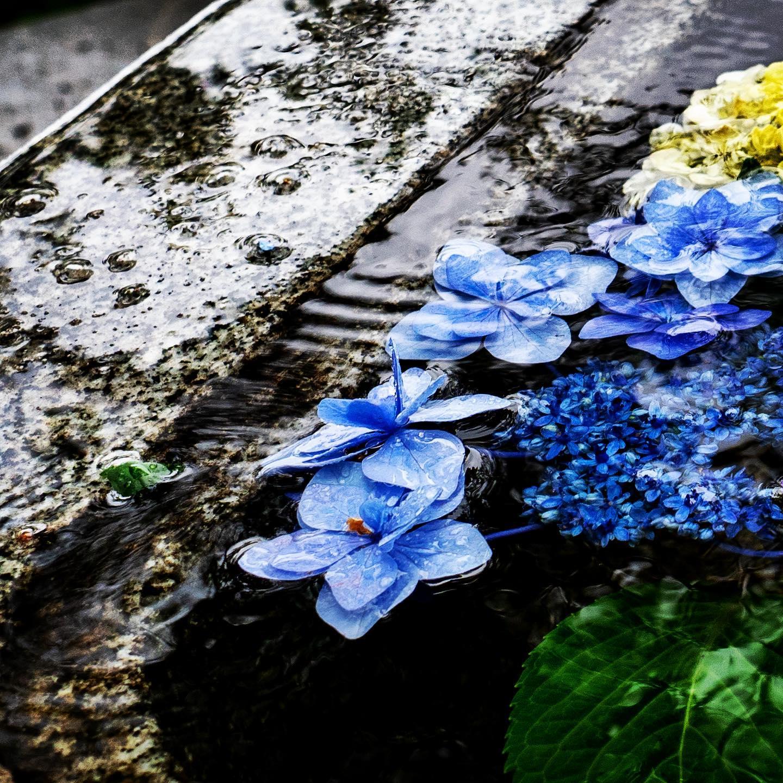 水紫陽花。 (OLYMPUS OM-D E-M1 + M.ZUIKO DIGITAL ED 12-40mm F2.8 PRO)