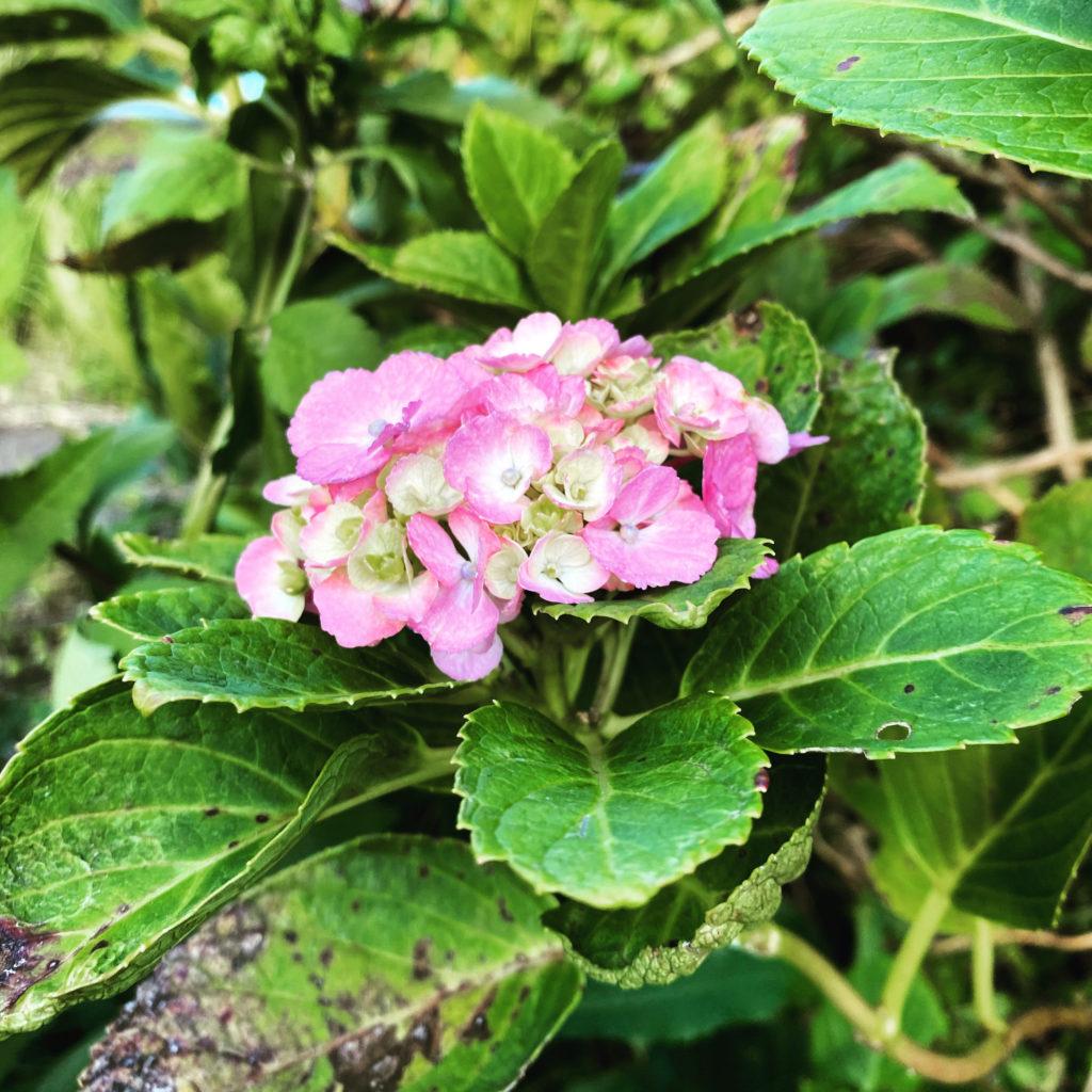 9月末の紫陽花。(iPhone 11 Pro Max)