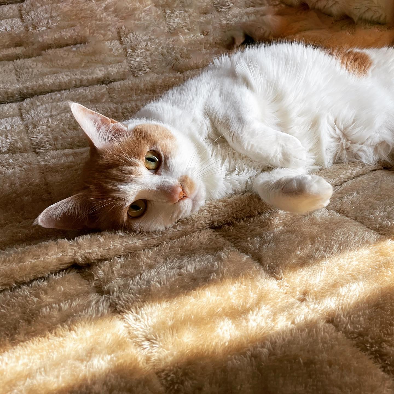 猫の日。毛布と同化中。(iPhone 12 Pro Max 広角)