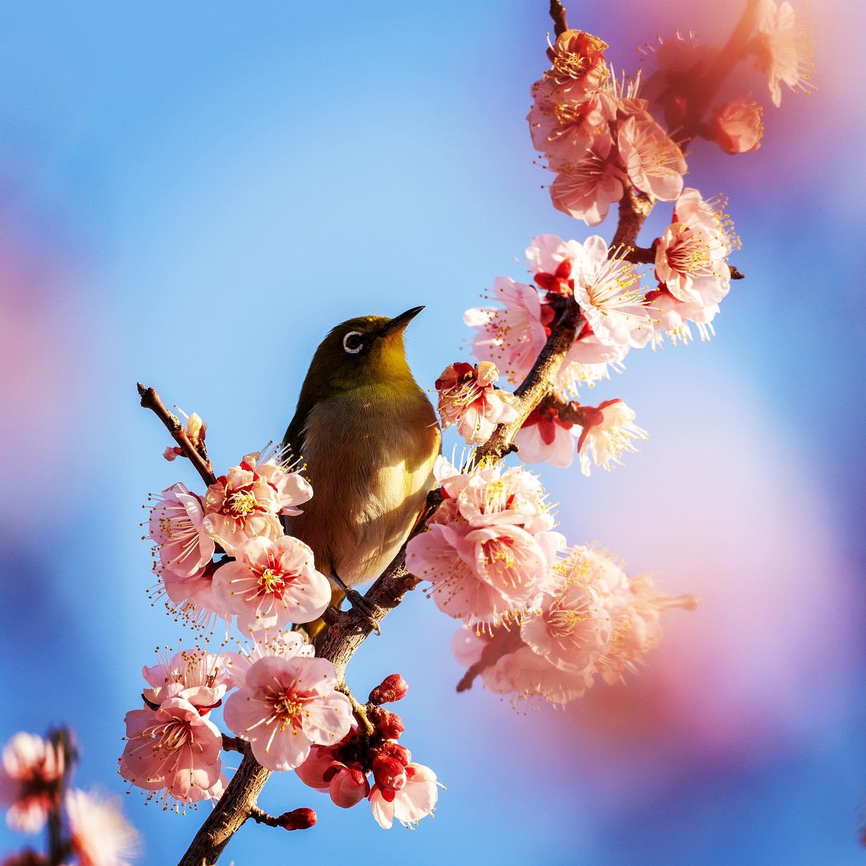 メジロ、梅の花、春一番。(OLYMPUS OM-D E-M1X + M.ZUIKO DIGITAL ED 300mm F4.0 IS PRO) 春の強い風が吹いてもメジロさんは梅の花を舞う。私は花粉症で鼻水ら〜。