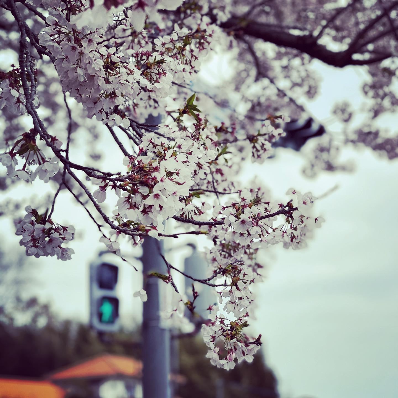 信号の桜。(iPhone 12 Pro Max ポートレート) 実は凄い強風の中…