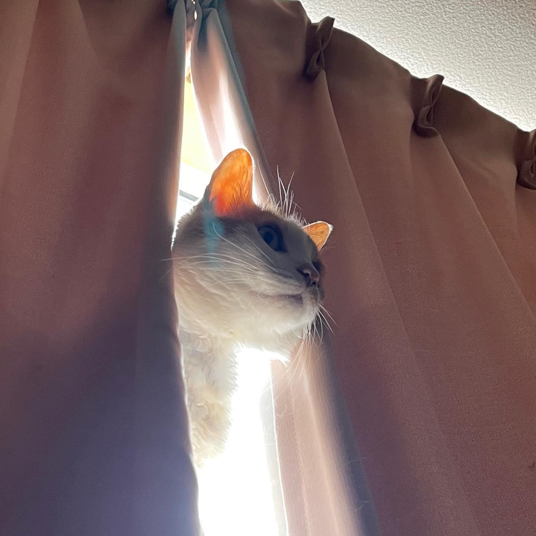 カーテンから朝日を浴びてモーニング・キャット。(iPhone 12 Pro Max 望遠)
