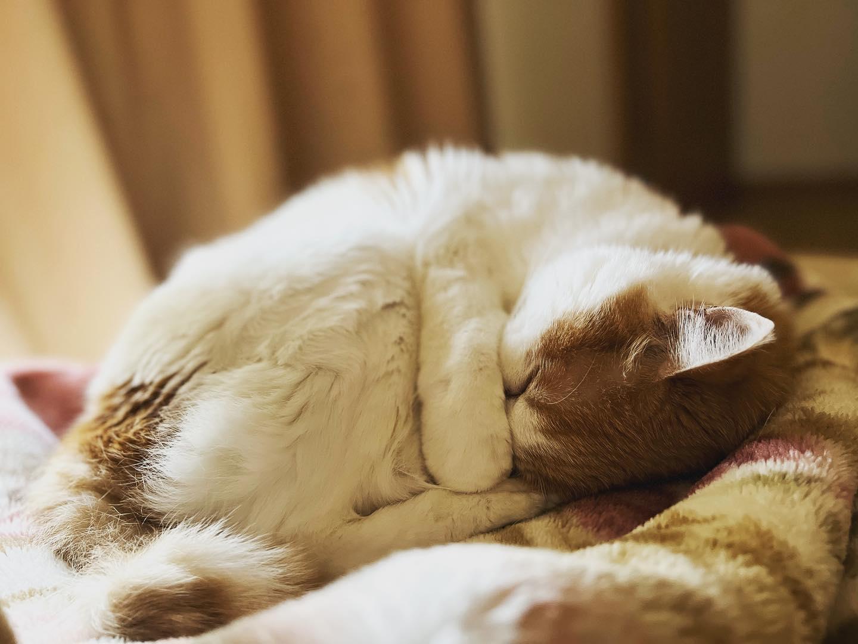 熟睡中ネコ。(iPhone 13 Pro Max ポートレート)